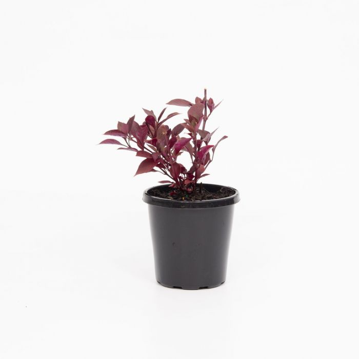 Alternanthera Firebug color No 7992900140P