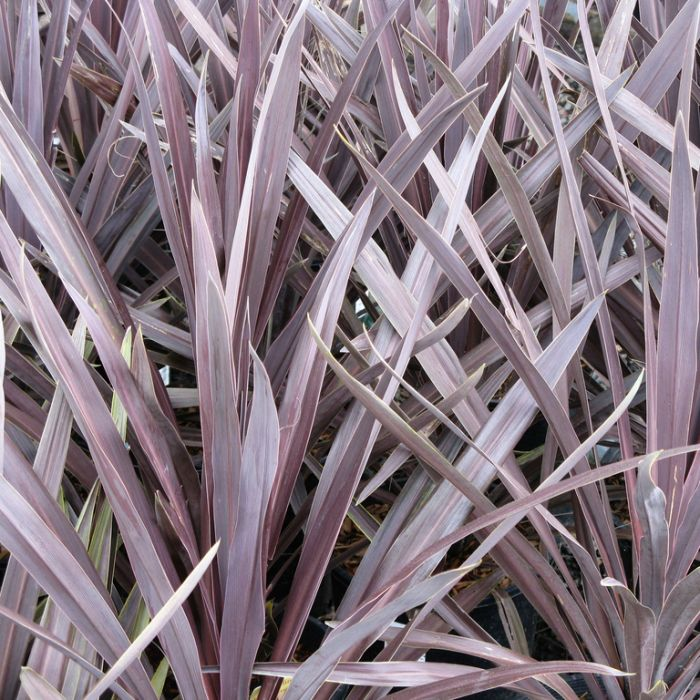 Cordyline Red Sensation color No 8401200190P