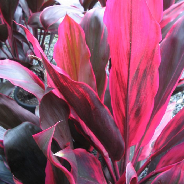 Cordyline Rubra color No 8401600200P