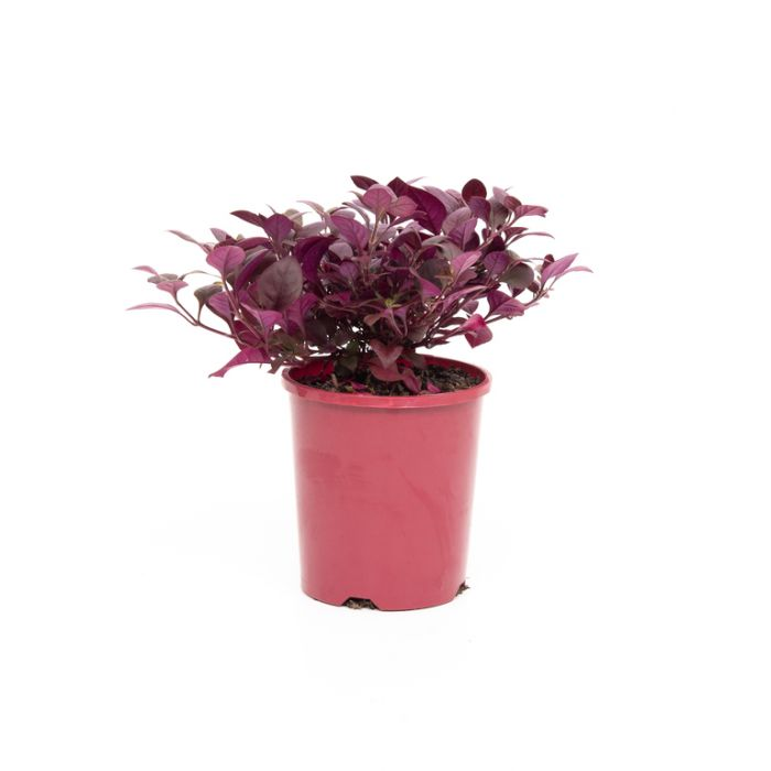 Alternanthera Little Maroon color No 9000030140P