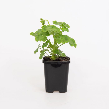 Geranium Lilac color No 9004810085