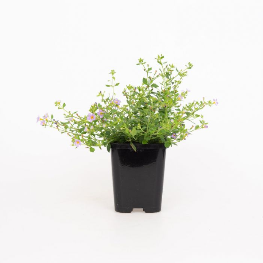 Sutera Blutopia  No] 9004970085 - Flower Power