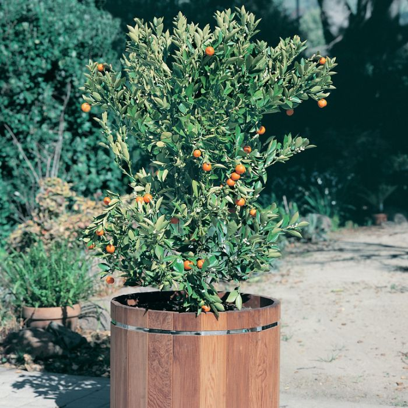Calamondin Cumquat  No] 9005530140P - Flower Power
