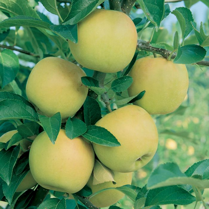 Apple Golden Delicious Dwarf  No] 9007120250 - Flower Power