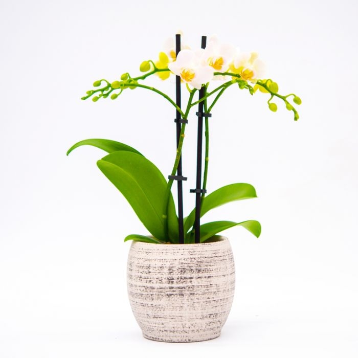 Living Trends Mini Orchid Planter color No 9010469999
