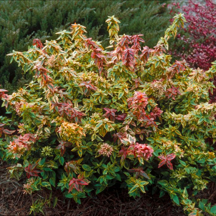 Abelia Kaleidoscope color No 9313208004734P