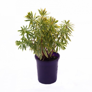 Euphorbia Ascot Rainbow  No] 9313208006073 - Flower Power