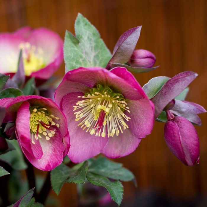 Pennys Pink Hellebore color No 9313208013859