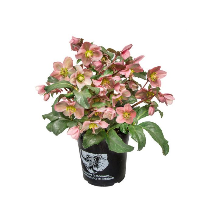 Angel Glow Hellebore color No 9313208013866