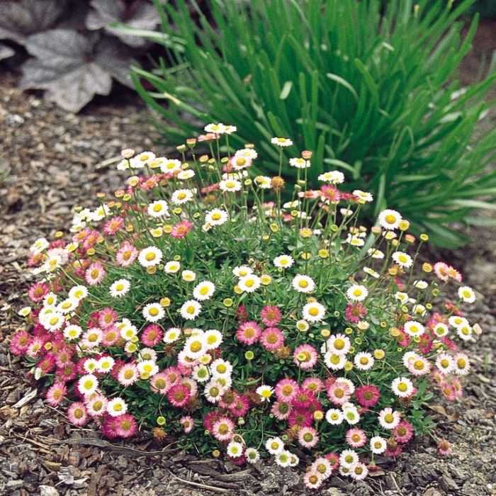 Erigeron Spindrift color No 9313208014375