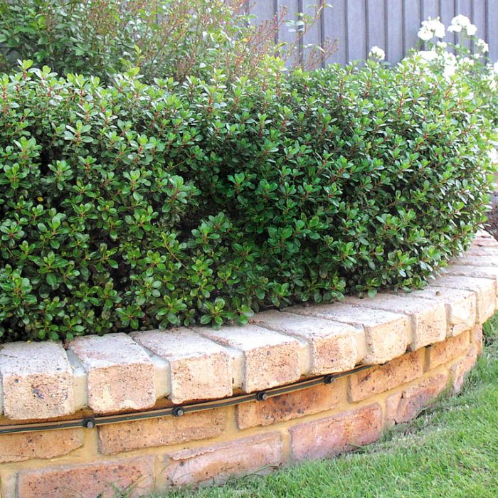 Escallonia Hedge With an Edge color No 9313208021106