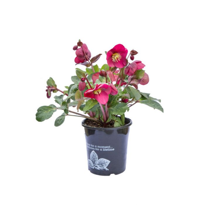 Anna's Red Hellebore color No 9313208053305