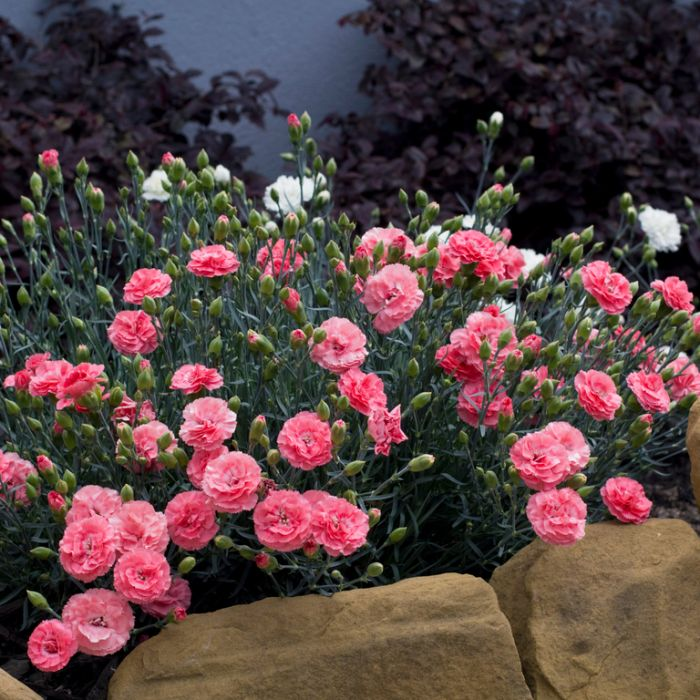 Dianthus Romance color No 9313208053954P