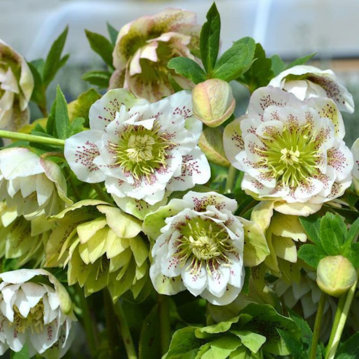 Cinderella Hellebore  No] 9313208564511 - Flower Power