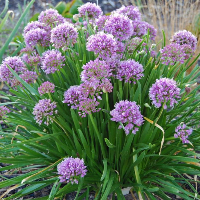 Allium Millenium color No 9313208565570P