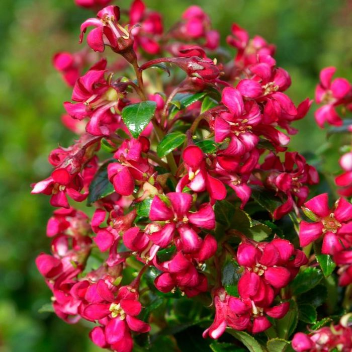 Escallonia Hedge With an Edge Dark Pink  No] 9313208566140 - Flower Power