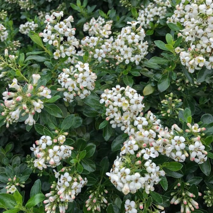 Escallonia Hedge With an Edge White  No] 9313208566157 - Flower Power