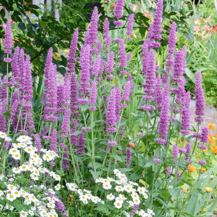 Anise Hyssop color No 9313208567826P