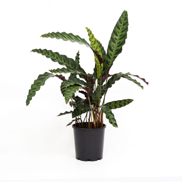 Rattlesnake Plant color No 9313598101846