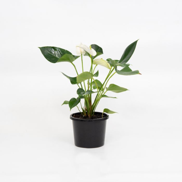 Anthurium 'White Winner' color No 9313598109613