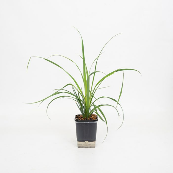 Greater Pond Sedge  No] 9314842000144P - Flower Power