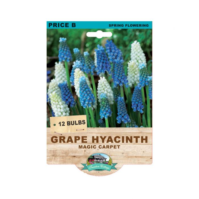 Grape Hyacinth Magic Carpet  No] 9315774071028 - Flower Power