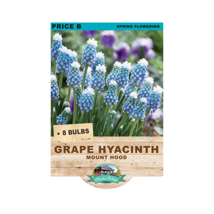 Grape Hyacinth Mount Hood color No 9315774071776
