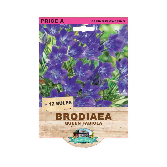 Brodiaea Queen Fabiola color No 9315774073312