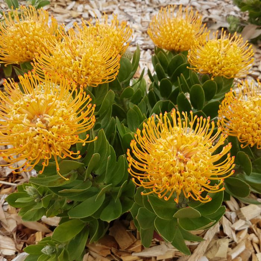 Leucospermum Carnival Yellow color No 9317024002677P