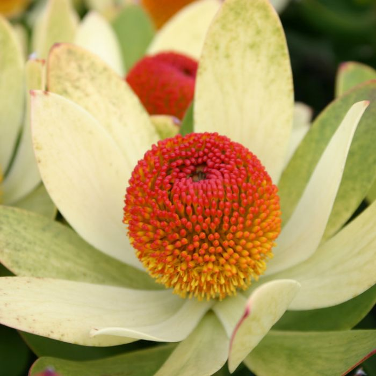 Leucadendron Summer Sun color No 9317024003865P