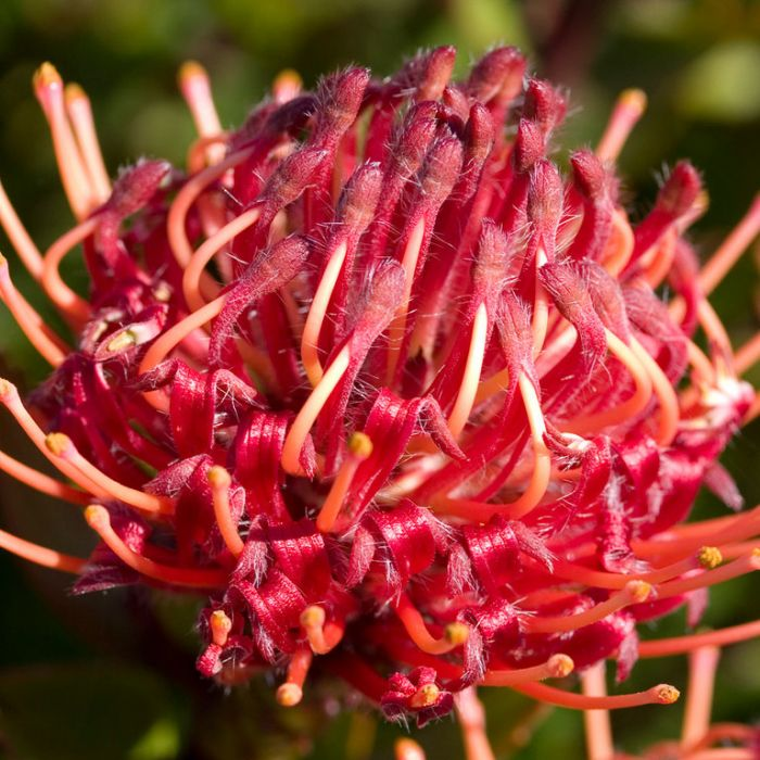 Leucospermum  Carnival ® Red PBR  No] 9317024005449P - Flower Power