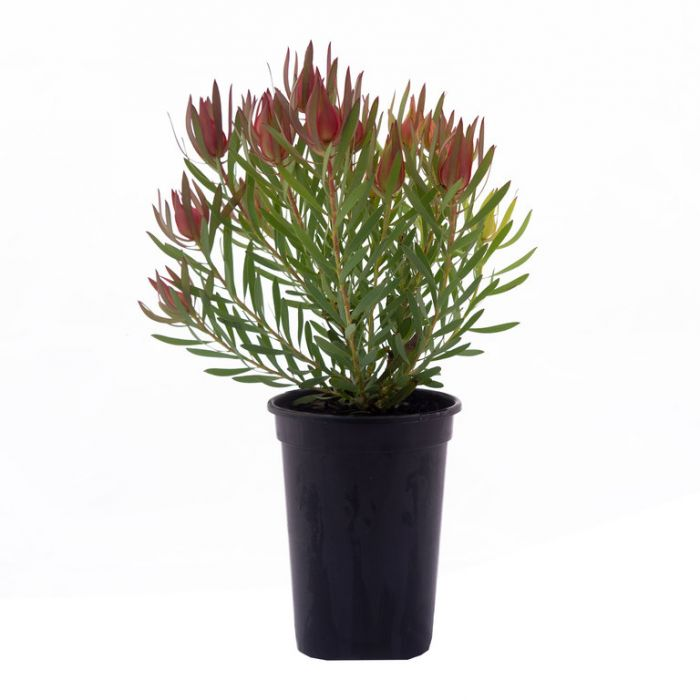 Leucadendron Harlequin color No 9317024008044P