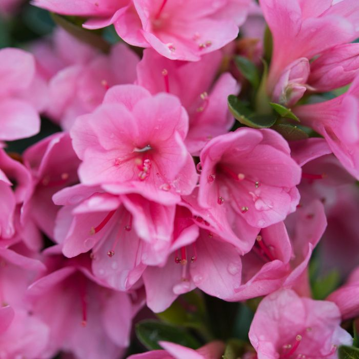 Azalea Kirin  No] 9319585028707P - Flower Power