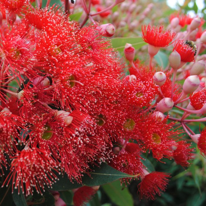 Flowering Gum Wildfire color No 9319762000526