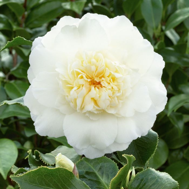 Camellia Japonica Elegans Champangne color No 9319762001356P