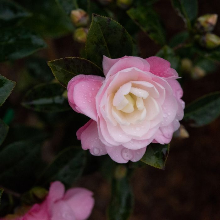 Camellia Japonica Spring Surprise color No 9319762001936P
