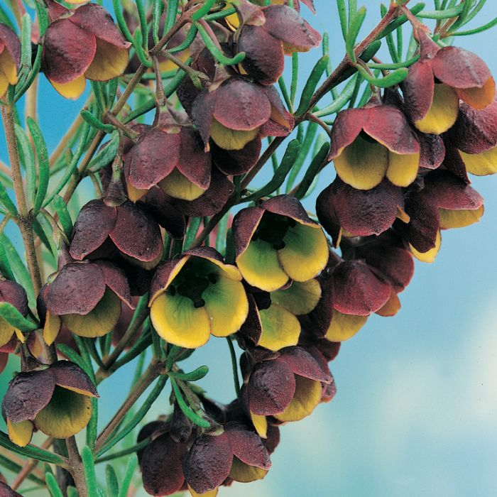 Boronia megastigma  No] 9319762584538P - Flower Power