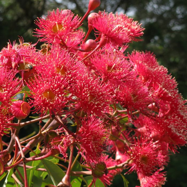 Flowering Gum Wild Sunset color No 9319762746240