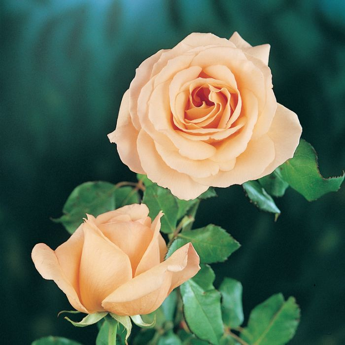Rose Apricot Nectar  No] 9321846006355 - Flower Power