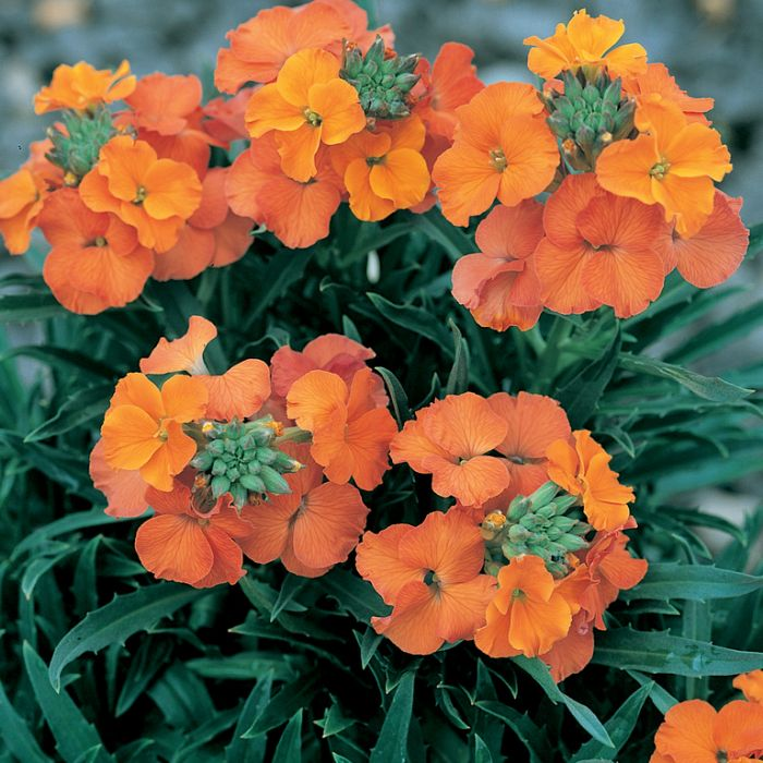 Wall Flower Apricot Twist color No 9321846014268