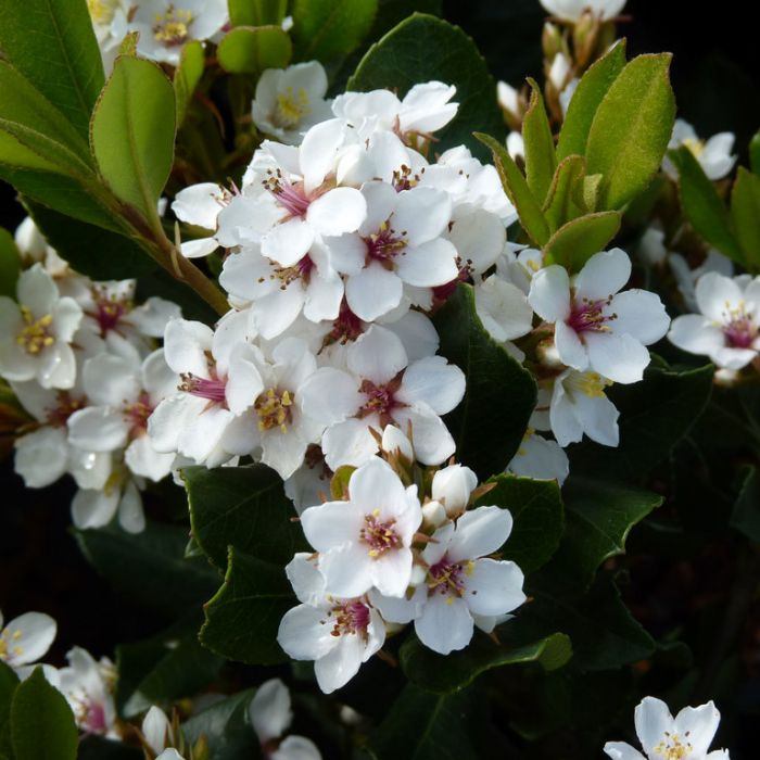 Indian Hawthorn 'Oriental Pearl' color No 9325621021090P