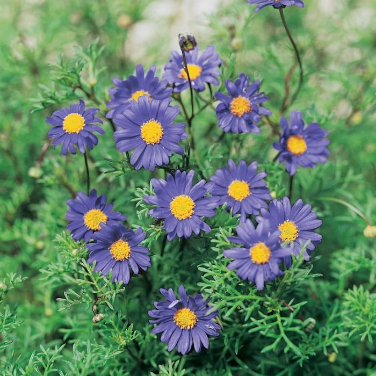 Brachyscome Country Light  No] 9336922013547 - Flower Power