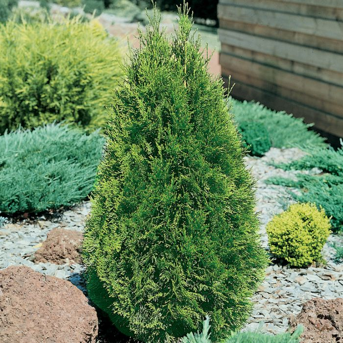 Thuja Occidentalis 'Smaragd'  No] 9337338002484 - Flower Power