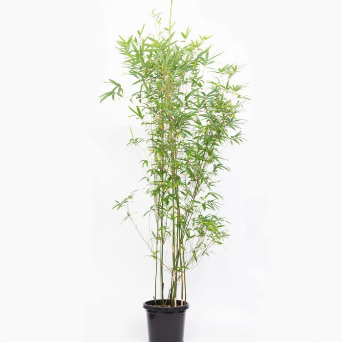 Goldstripe Bamboo  No] 9340411002653P - Flower Power