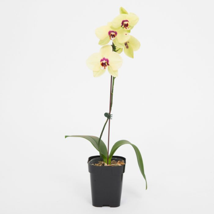 Assorted Phalaenopsis Large Single Orchid  No] 9349513000598 - Flower Power