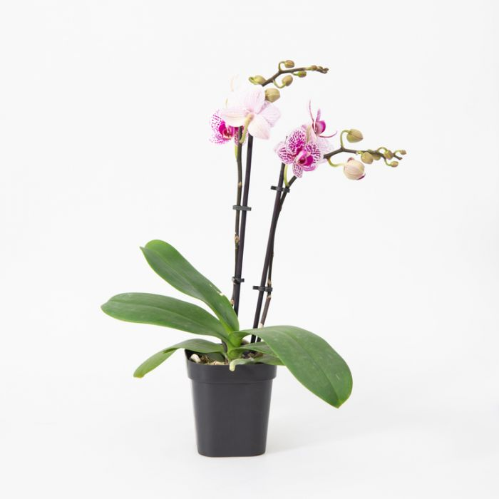 Assorted Phalaenopsis Large Double Orchid  No] 9349513000635 - Flower Power