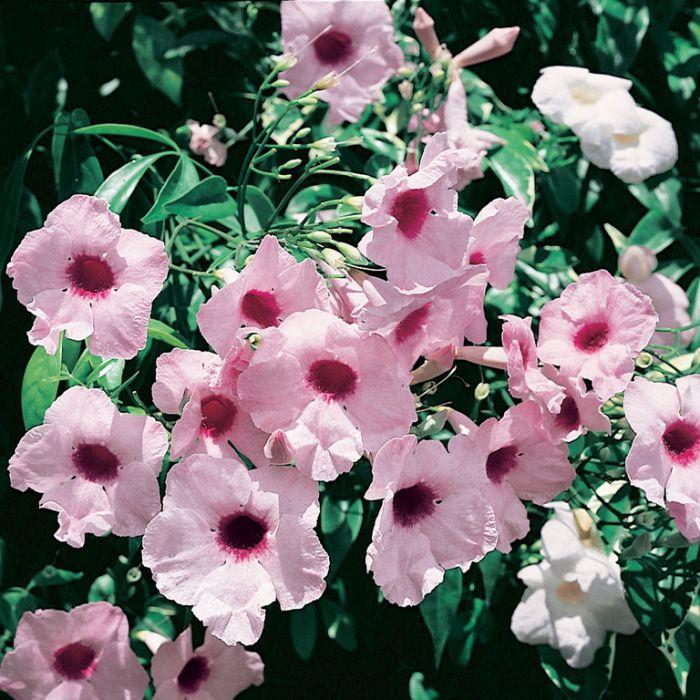 Pandorea jasminoides  ] 090810P - Flower Power