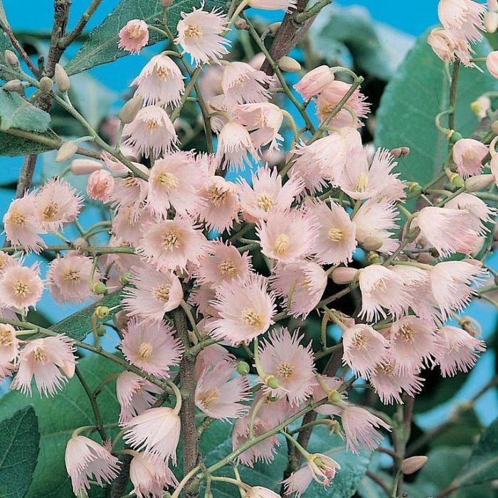 Blueberry Ash  ] 1008200200P - Flower Power