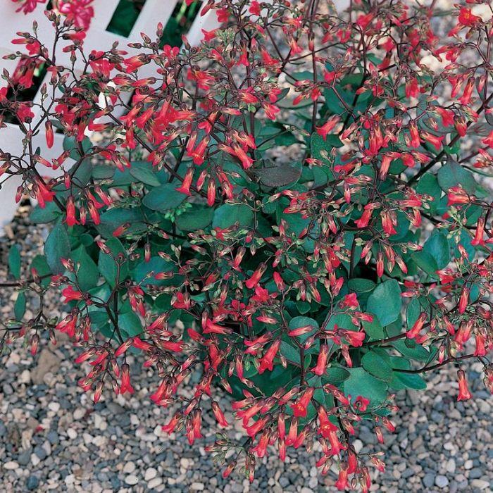 Kalanchoe mirabella Hanging Basket  ] 1014640020 - Flower Power