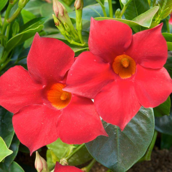 Mandevilla 'Crimson Fantasy' Hanging Basket  ] 1080240025 - Flower Power